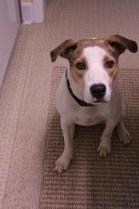 Sadie:  our new pup